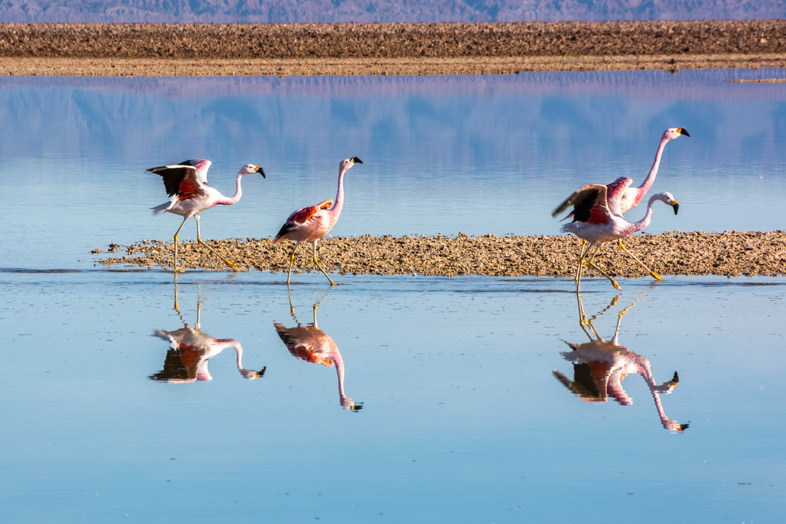 Flamants roses qui prennent leur envol sur la laguna chaxa