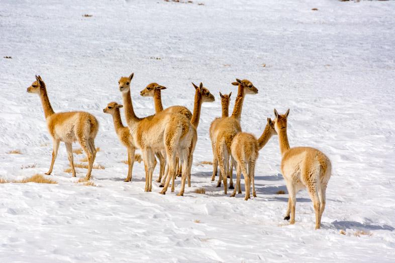Vigognes dans la neige près de San Pedro de Atacama