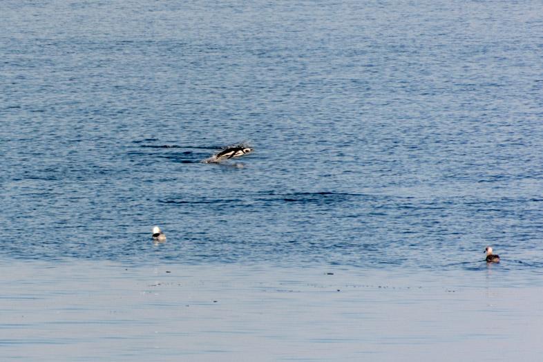 volontariat au chili ile de chiloe pingouin saute hors de l eau