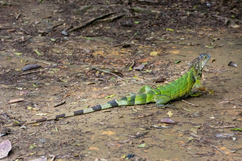 iguane jardin botanique medellin colombie