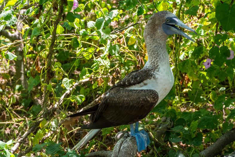 puerto lopez isla de la plata equateur fou a pates bleues excursion