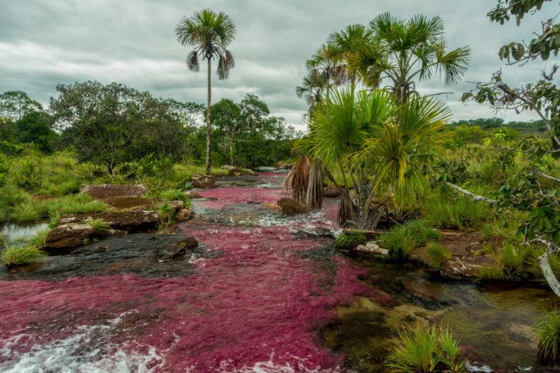 cano-sabana-riviere-rose-alternative-cano-cristales-macarenia-clavigera-tranquilandia-san-jose-del-guaviare-colombie