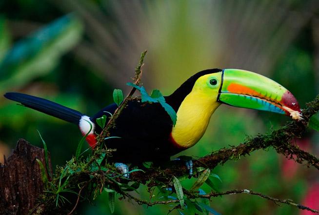keel billed toucan dans le parc Tayrona