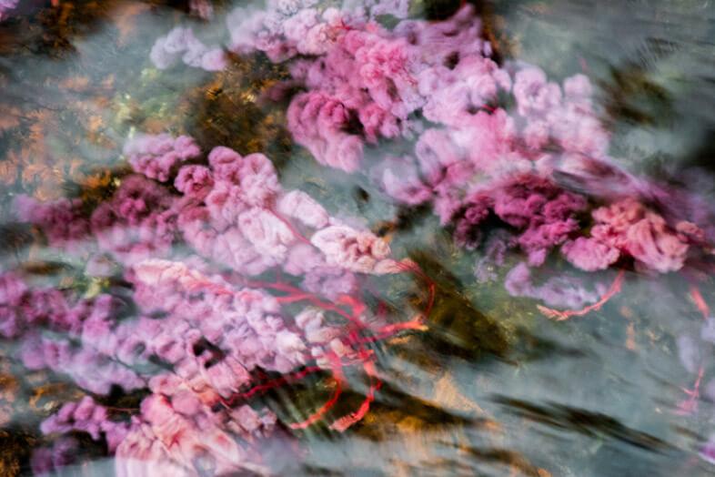 macarenia-clavigera-plante-cano-cristales-cano-sabana-riviere-rose-san-jose-del-guaviare-colombie