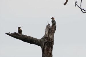 Pic à Couronne Rouge vue pendant une sortie birdwatching à Minca en Colombie