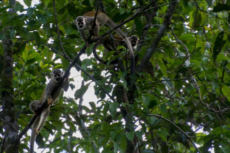 saimiri-singe-ecureuil-curieux-dans-les-arbres-san-jose-del-guaviare-colombie