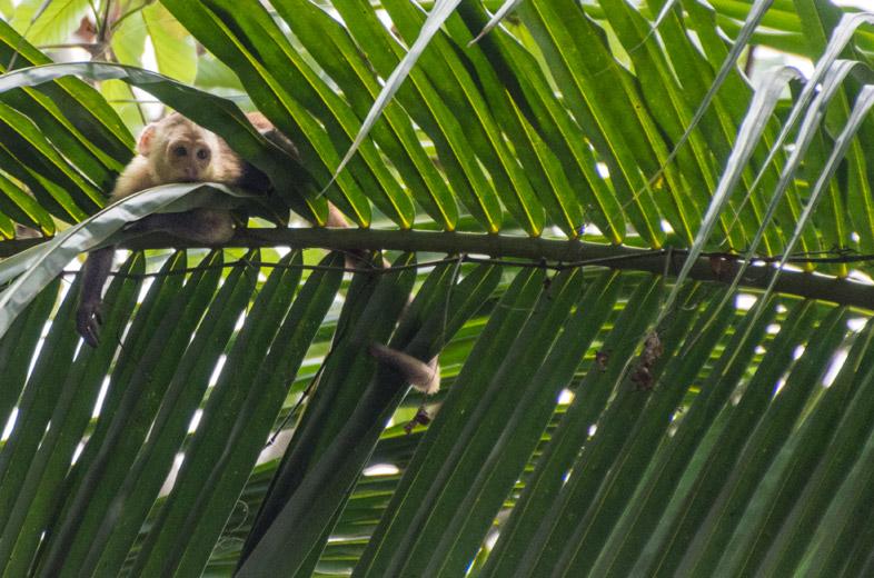 sapajou singe dans les palmiers parc tayrona colombie