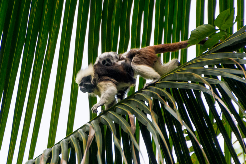 tamarin a crete blanche mico titi singe avec ses bebes parc tayrona colombie