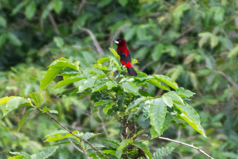 tangara-a-dos-rouge-crimson-backed-tanager-observation-oiseaux-birdwatching-minca-colombie