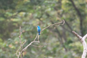 Tersine Hirondelle Swallow Tanager observation d'oiseaux à Minca en Colombie