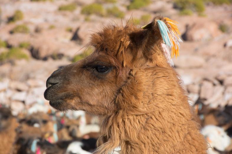 Lama Dans Les Andes