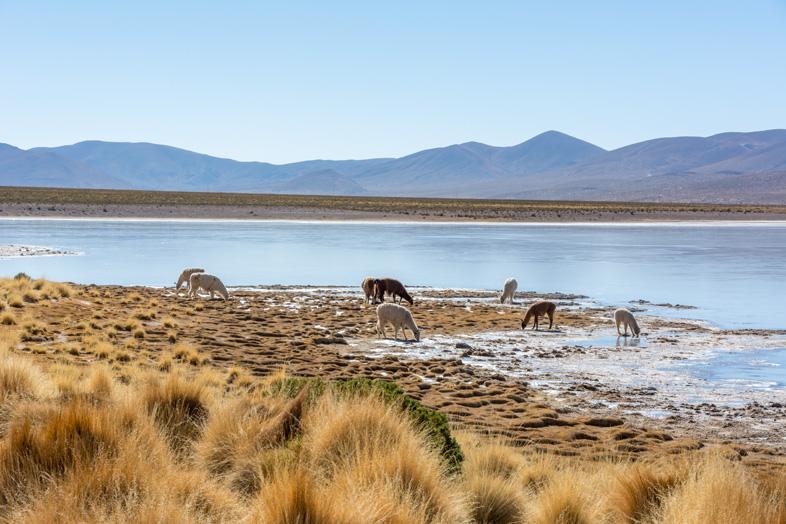 Des Lamas Broutent Près De La Laguna Vinto En Bolivie Dans Le Sud Lipez