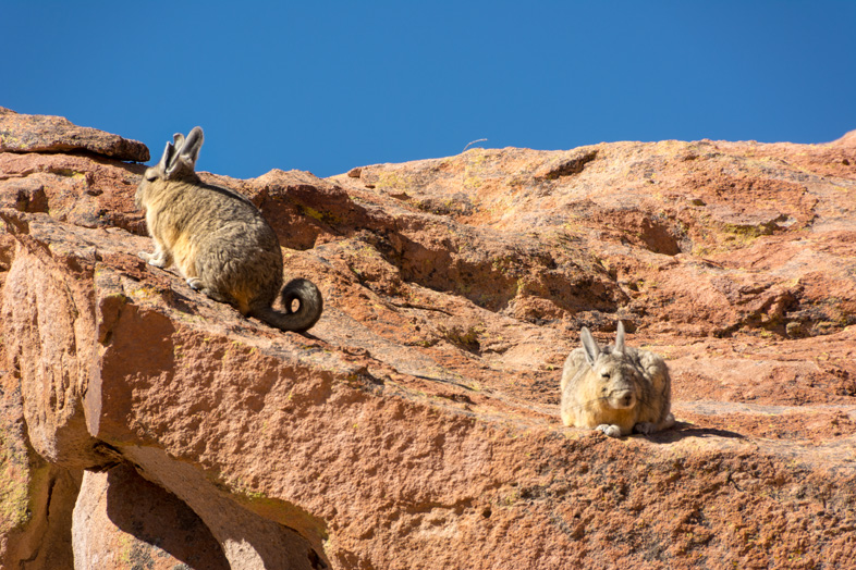 Des Vizcachas Ou Lièvres De Pampa Dans Le Sud De La Bolivie