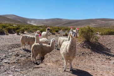 Des Lamas Traversent La Route En Bolivie Près De Tupiza Postshow