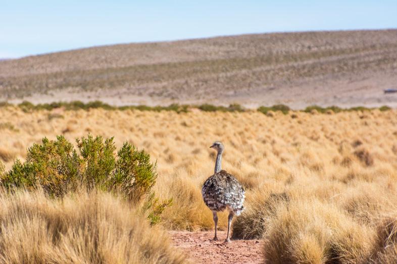 Un Emeu Aussi Appelé ñandu En Bolivie Près De Tupiza