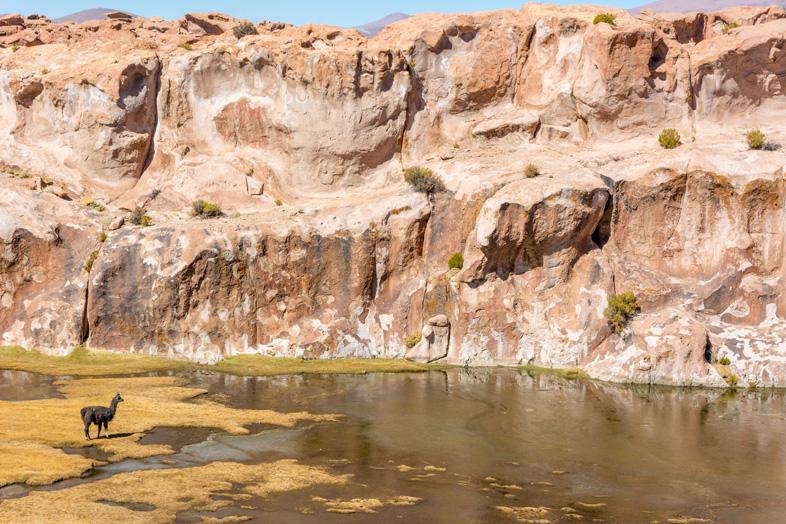 Un Lama Solitaire Près De La Laguna Negra Dans Le Parc Eduardo Avaroa En Bolivie
