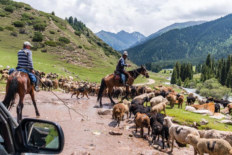 Les Bergers Et Leurs Bétails Au Kyrgyzstan