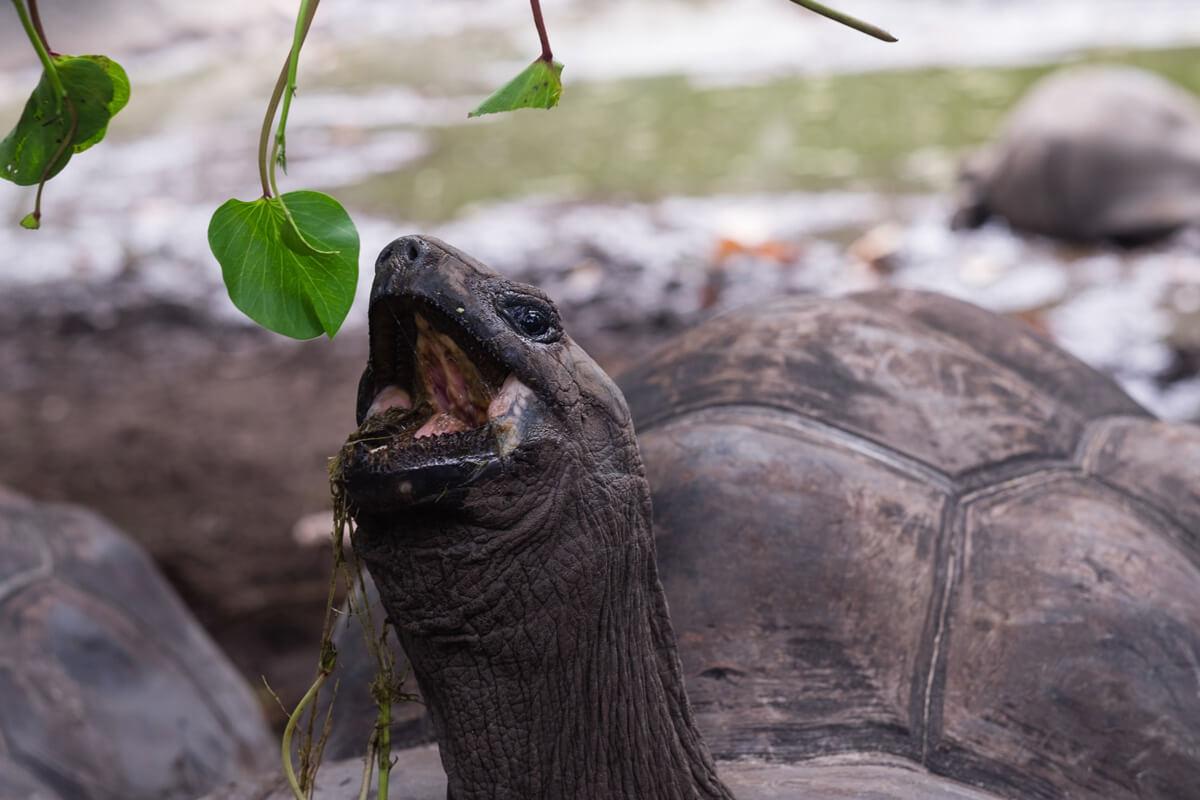 Tortue Terrestre Seychelles